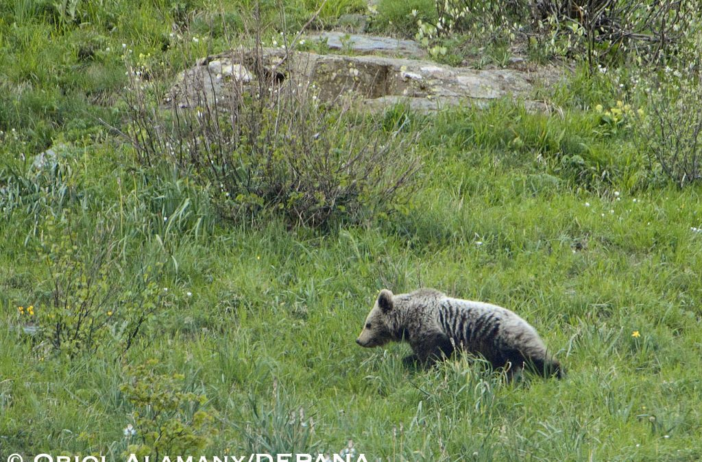 Depana fa el seguiment de dos óssos a la Val d'Aran enregistrant imatges insòlites al Pirineu