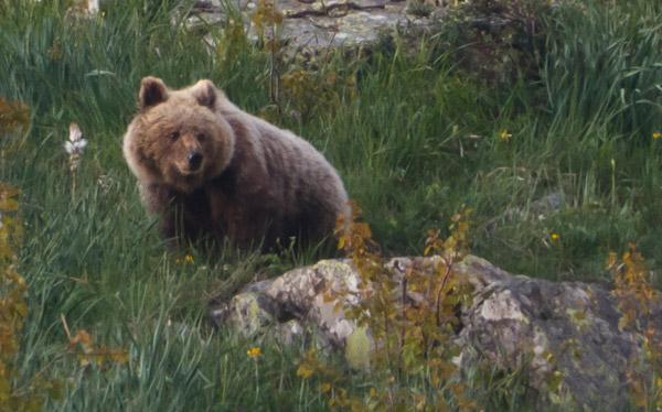 Bones notícies dels óssos del Pirineu: El passat 28 de juliol va ser observada una óssa amb com a mínim 2 cadells de l'any a la zona del Couserans (Pirineu Central)