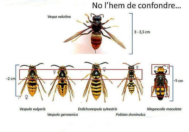 Vespa Velutina vs altres vespes (fe d'errates) - DEPANA. Lliga per a la  Defensa del Patrimoni Natural