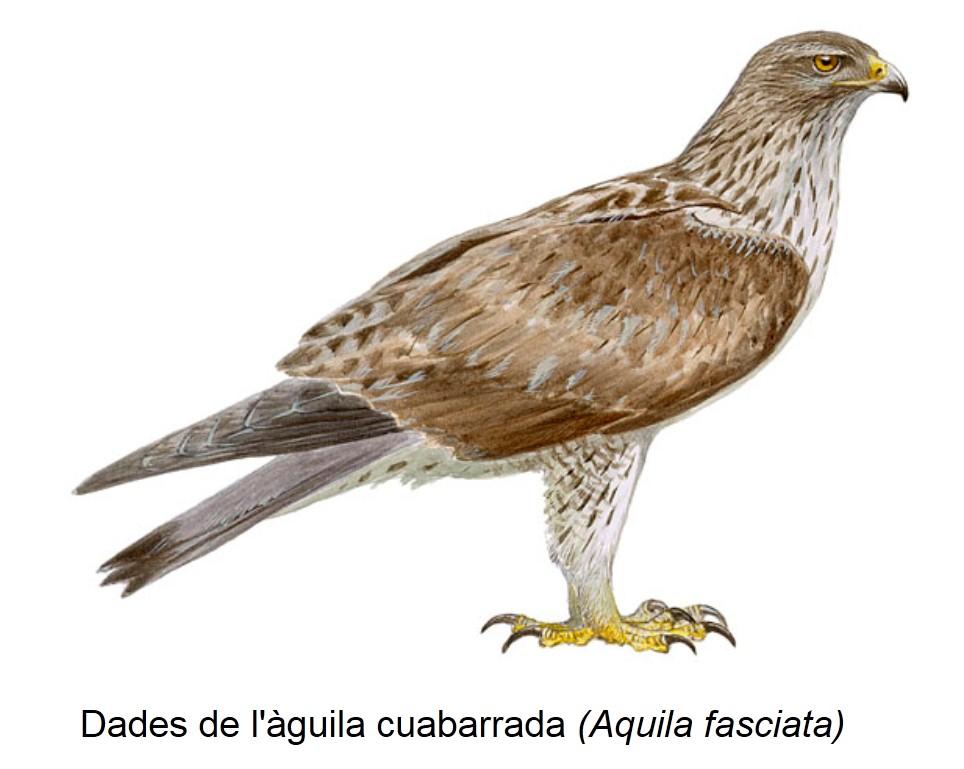 Dades de l'àguila cuabarrada (Aquila fasciata)